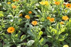 Желтые сезонные цветки с зелеными растениями Стоковые Фото