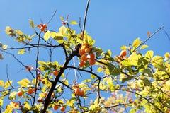 Желтые сливы на дереве Стоковая Фотография RF