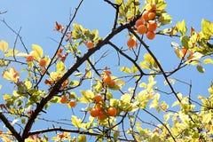 Желтые сливы на дереве Стоковое Фото