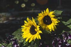 Желтые солнцецветы закрывают вверх стоковые фотографии rf