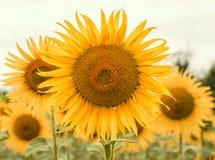 Желтые солнцецветы на поле в крупном плане лета стоковая фотография rf