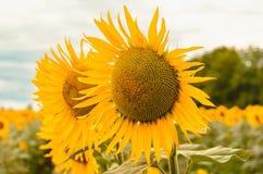 Желтые солнцецветы на поле против голубого неба с облаками стоковые изображения rf