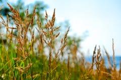 Желтые, сухие тростники пошатывая в ветре, против моря Теплое временя сфокусируйте мягко запачканная предпосылка стоковое фото rf