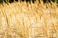 Желтые, сухие тростники пошатывая в ветре Теплое временя стоковое фото