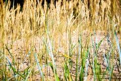 Желтые, сухие тростники пошатывая в ветре Теплое временя стоковые изображения