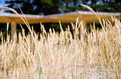 Желтые, сухие тростники пошатывая в ветре Теплое временя стоковые фото