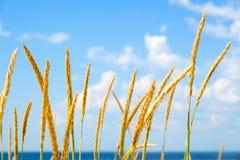 Желтые, сухие тростники пошатывая в ветре Теплое временя стоковые фотографии rf