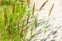 Желтые, сухие тростники пошатывая в ветре Теплое временя стоковые изображения rf