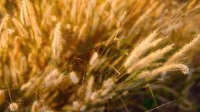 Желтые травы цветут выборочный фокус стоковые фото