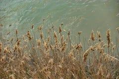 Желтые тростники, который выросли наряду с зеленоватым коричневым цветом покрасили реку стоковые фото