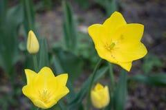 Желтые тюльпаны закрывают вверх по предпосылке стоковое изображение rf