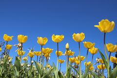 Желтые тюльпаны зацветают в Springtimeธ стоковая фотография rf