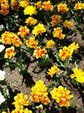 Желтые тюльпаны на flowerbed в парке Стоковые Изображения RF