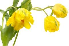 Желтые тюльпаны попыгая Стоковое Изображение