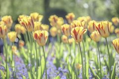 Желтые тюльпаны с красными прокладками цвести в парке Великобритании стоковое изображение rf