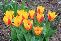 Желтые тюльпаны Стоковое Изображение