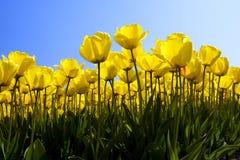 Желтые тюльпаны Стоковые Изображения RF