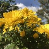 Желтые хризантемы в солнце осени Стоковые Изображения RF