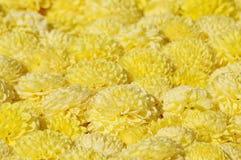 Желтые хризантемы Стоковое фото RF
