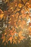 Желтые цвета осени в заходе солнца backlight Стоковые Изображения RF