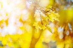 Желтые цвета осени листвы Ветвь с желтыми листьями на запачканной предпосылке r ( Нерезкость Шум стоковые фото
