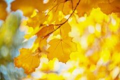 Желтые цвета осени листвы Ветвь с желтыми листьями на запачканной предпосылке r ( Нерезкость Шум стоковое фото