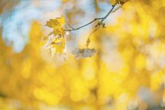 Желтые цвета осени листвы Ветвь с желтыми листьями на запачканной предпосылке r ( Нерезкость Шум стоковая фотография