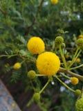 Желтые цветения Стоковые Фото