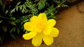 желтые цветеня стоковое фото rf