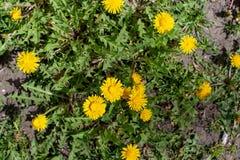 Желтые цветки весны стоковые изображения rf