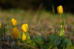 Желтые цветки весны стоковые фотографии rf