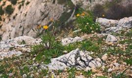 Желтые цветки в горах среди утесов Стоковые Фото