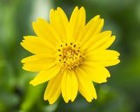 Желтые цветки в дворе перед входом стоковая фотография rf