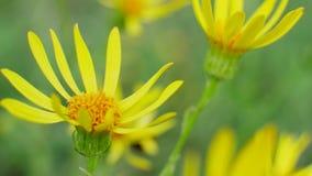 Желтые цветки в диком поле сток-видео