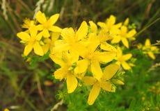 Желтые цветки в луге, Литве Стоковое Изображение RF
