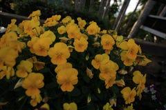 Желтые цветки в саде Стоковое фото RF