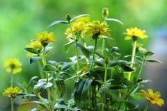 Желтые цветки в саде стоковые фотографии rf