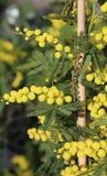 Желтые цветки мимозы весной символ международного d Стоковые Изображения