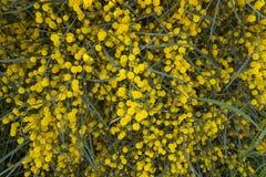 Желтые цветки мимозы на ветвях дерева желтый цвет весны лужка одуванчиков предпосылки полный selec Стоковые Изображения RF