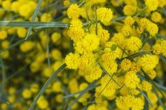 Желтые цветки мимозы на ветвях дерева желтый цвет весны лужка одуванчиков предпосылки полный selec Стоковое Изображение