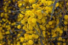 Желтые цветки мимозы на ветвях дерева желтый цвет весны лужка одуванчиков предпосылки полный selec Стоковая Фотография RF