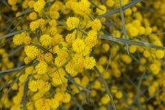 Желтые цветки мимозы на ветвях дерева желтый цвет весны лужка одуванчиков предпосылки полный selec Стоковые Изображения