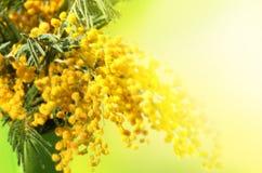 Желтые цветки мимозы стоковое фото