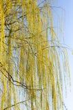 Желтые цветки на вербе разветвляют весной Стоковые Изображения