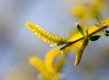 Желтые цветки на вербе разветвляют весной Стоковая Фотография