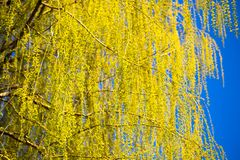 Желтые цветки на вербе разветвляют весной Стоковое фото RF