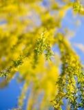 Желтые цветки на вербе разветвляют весной Стоковое Изображение