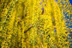 Желтые цветки на вербе разветвляют весной Стоковые Фотографии RF