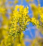 Желтые цветки на вербе разветвляют весной Стоковые Фото
