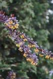 Желтые цветки на красном цвете Thunberg барбариса ветви стоковые фотографии rf